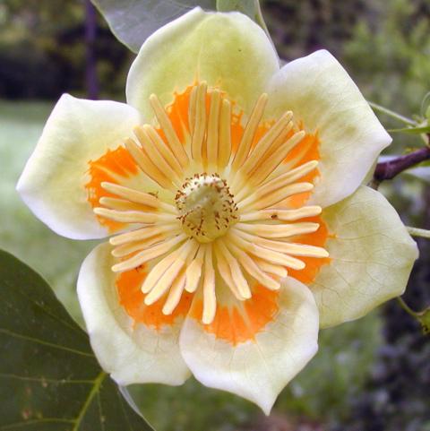 tuliptree