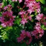 Azalea knap-Hill-hybrid