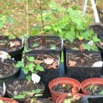 Acer negundo californicum (montalvo 'Itchy')