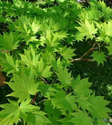 Acer sieboldianum Karhula
