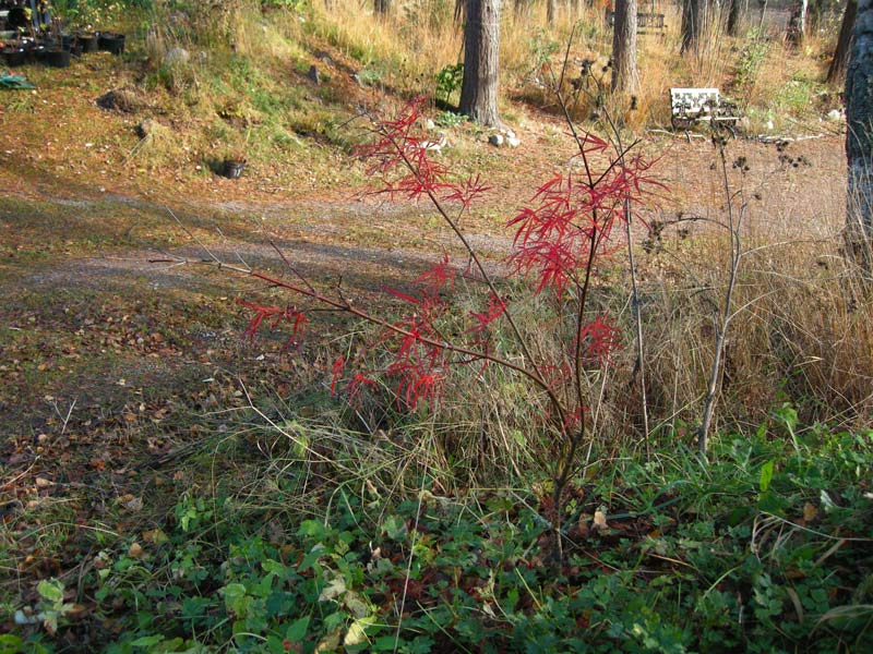 Acer palmatum artopurpureum 'Red Dragon'