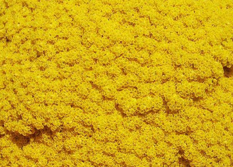 Achillea filipendulina 'Cloth of Gold'