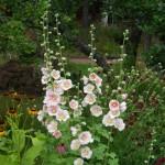 Alcea rosea pink