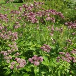 Astrantia major 'Primadonna'