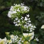 Centranthus ruber 'Snowcloud'