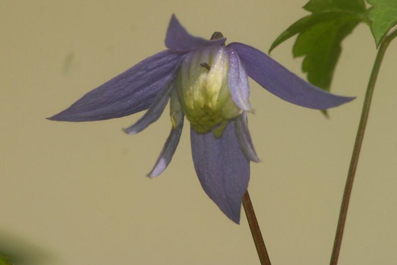 Clematis alpina 'Blue Princess'
