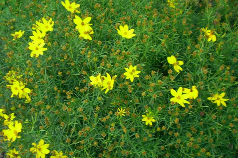 Coreopsis verticillata - Threadleaf Coreopsis