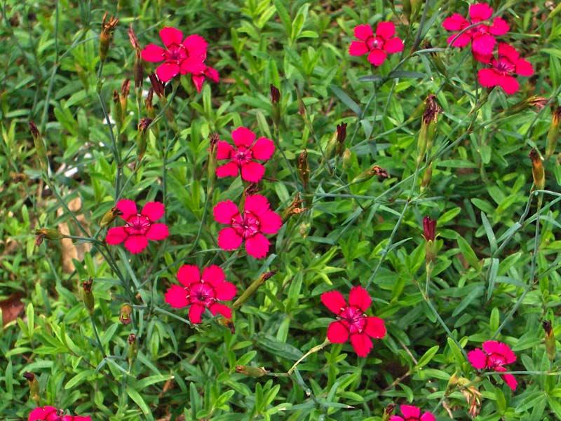 Dianthus deltoides - Maiden Pink