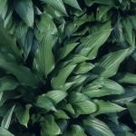 Hosta Undulata 'Lancifolia'