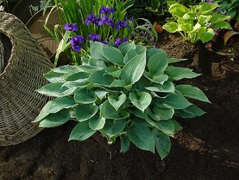 Hosta Tardiana 'Halycon'