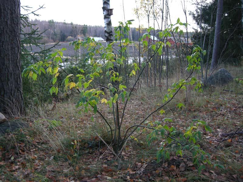Laburnum anagyroides 'Fastigiata'