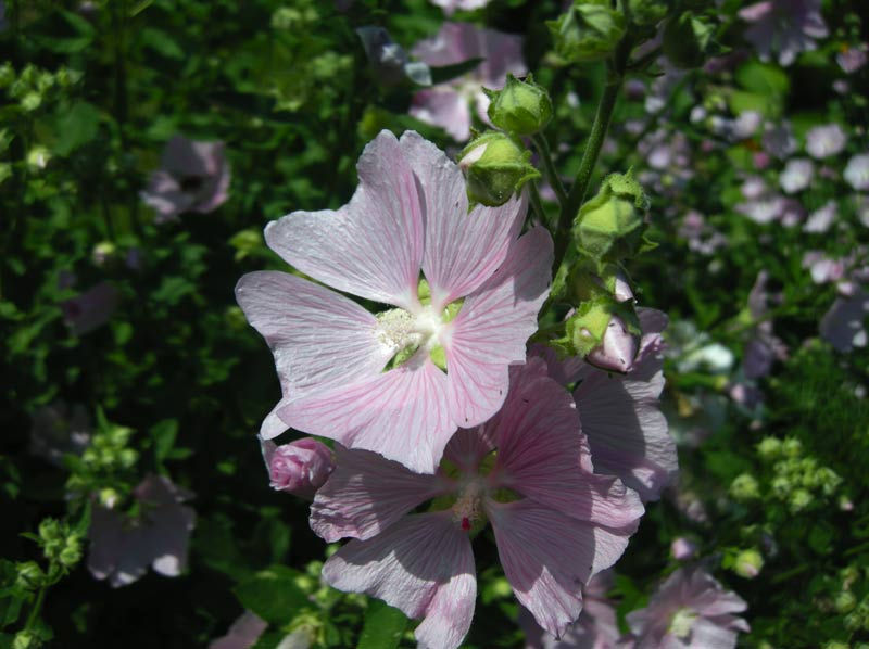Lavatera thuringiaca - Tree Mallow