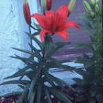 Lilium Asiatic hybrid red