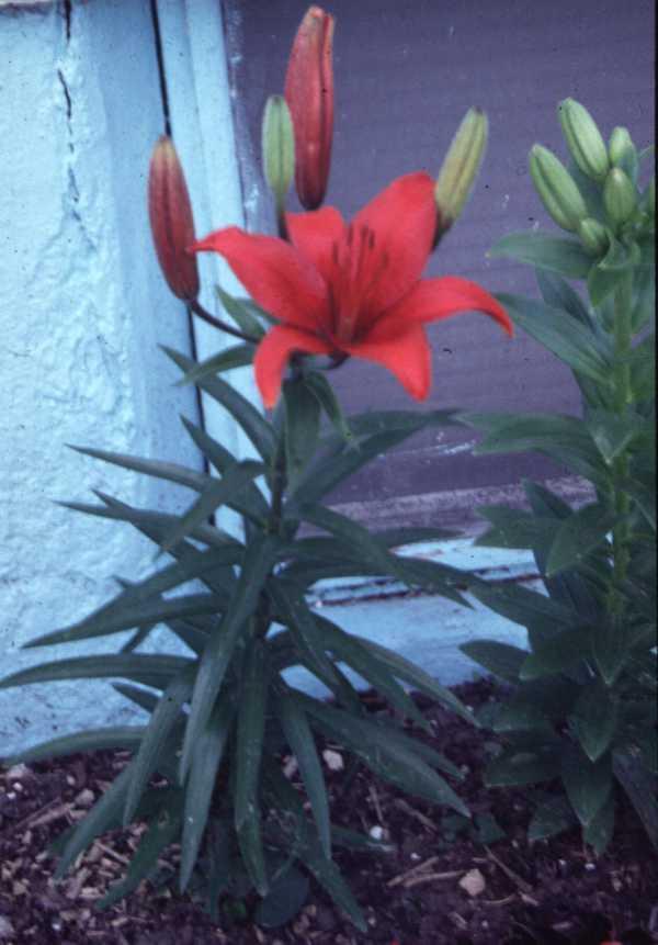 Lilium Asiatic hybrid red