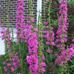 Lythrum salicaria - Purple Loosestrife