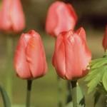 Tulipa Orange Cassini