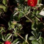 Cinquefoil - Potentilla atrosanguinea 'Rot'