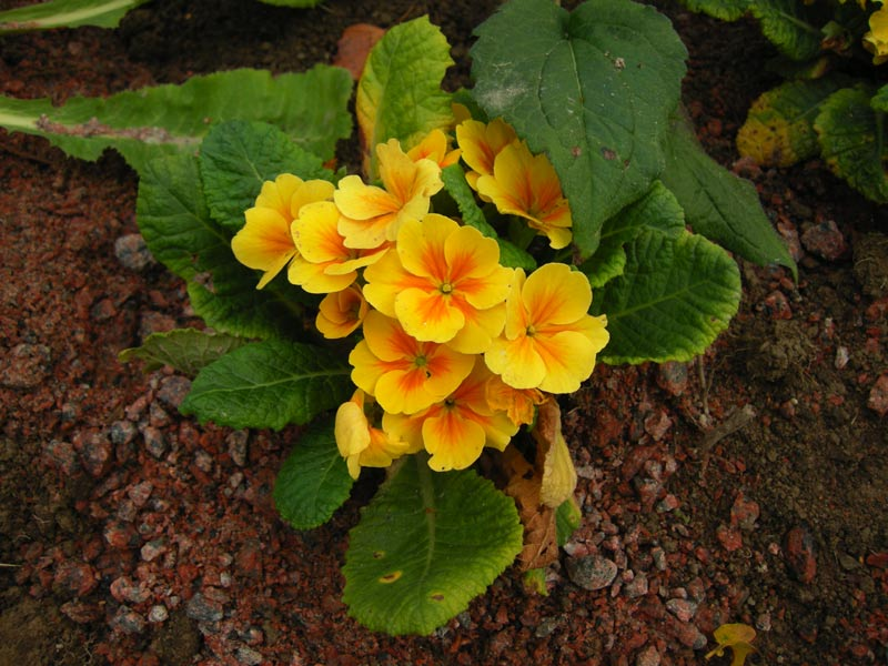 Primula vulgaris  Yellow Selection