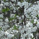 Prunus cerasus - Mustilan Morelli
