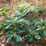Rhododendron Yakushimanum x wardii