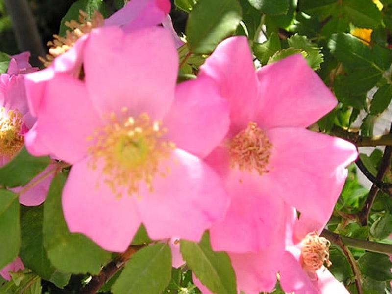Rosa 'BAIore'