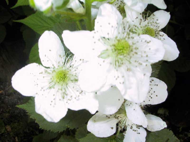 Rubus allegheniensis Sonja