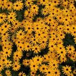 Rudbeckia fulgida - Black-eyed Susan