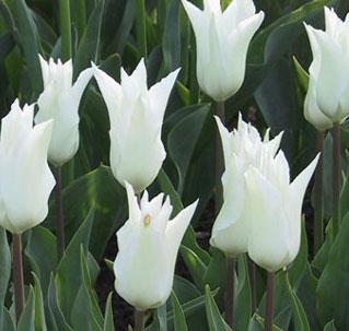 Tulipa  'Tres Chic'