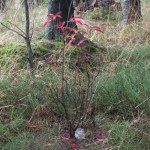 Azalea hybrid schneegold