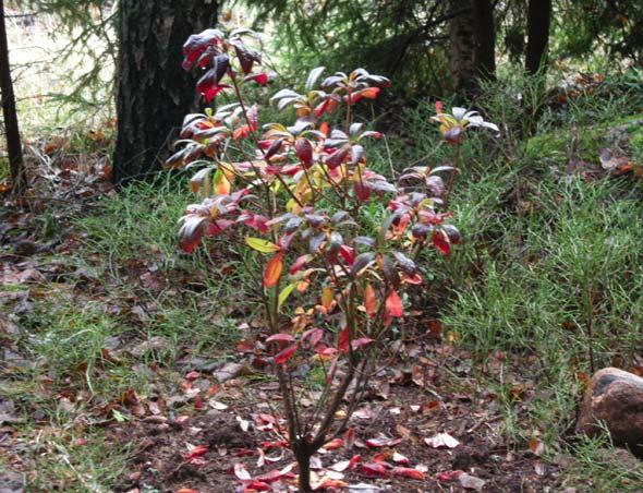 Azalea Mollis x Sinensis orange