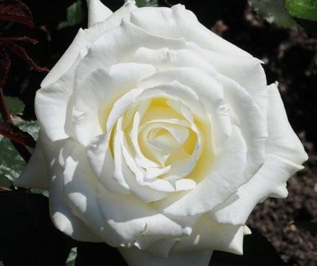 Rosa Memoire